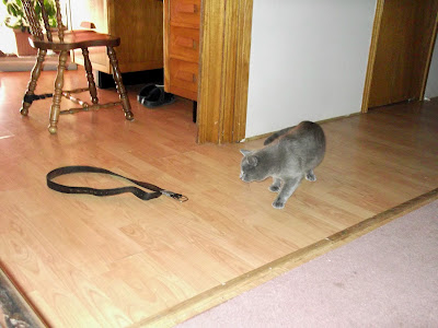 grey cat is cautious about belt