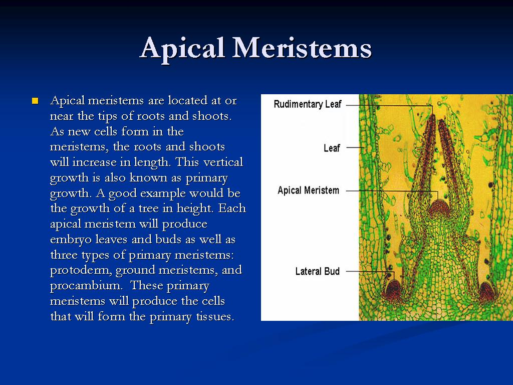 meristematic tissues the saifs world