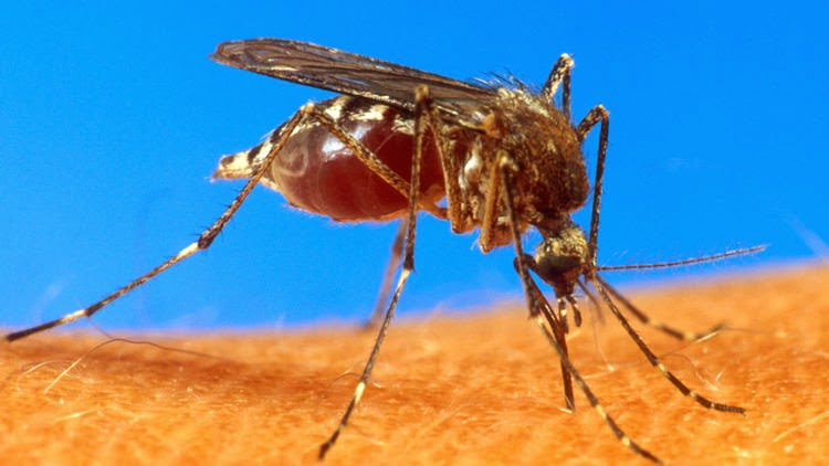Virus-transmitting 'yellow fever' mosquitoes discovered in L.A. County