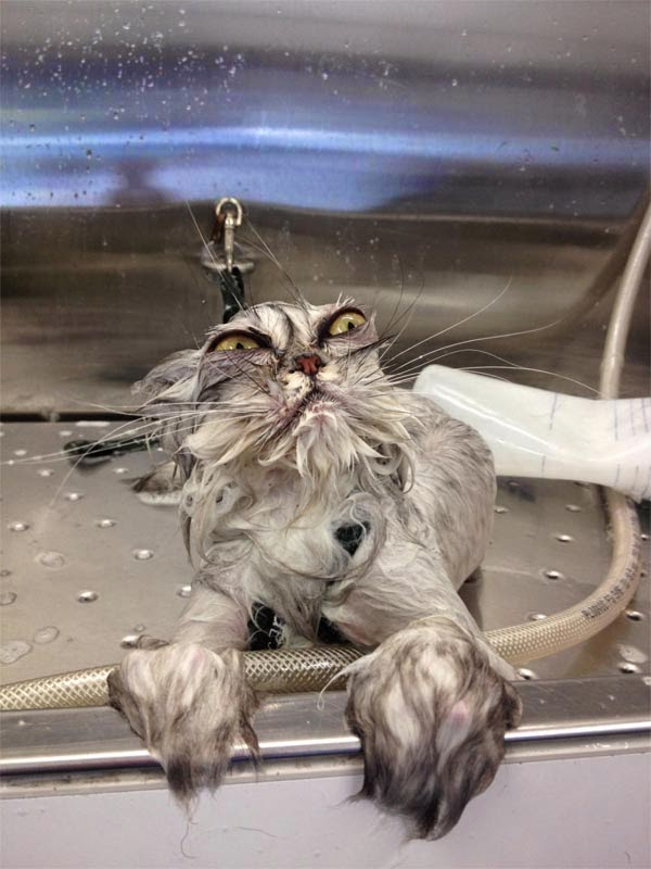 Adorable cats and dogs who really hate bath time (40 pics), funny pet pictures, cats hate baths pictures