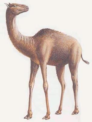 camelidae fosil Oxydactylus
