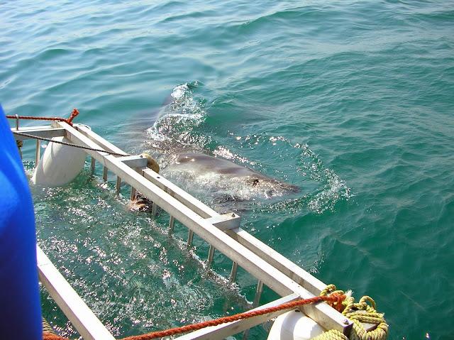 SUDÁFRICA: buceo con tiburones blancos en Gansbaai
