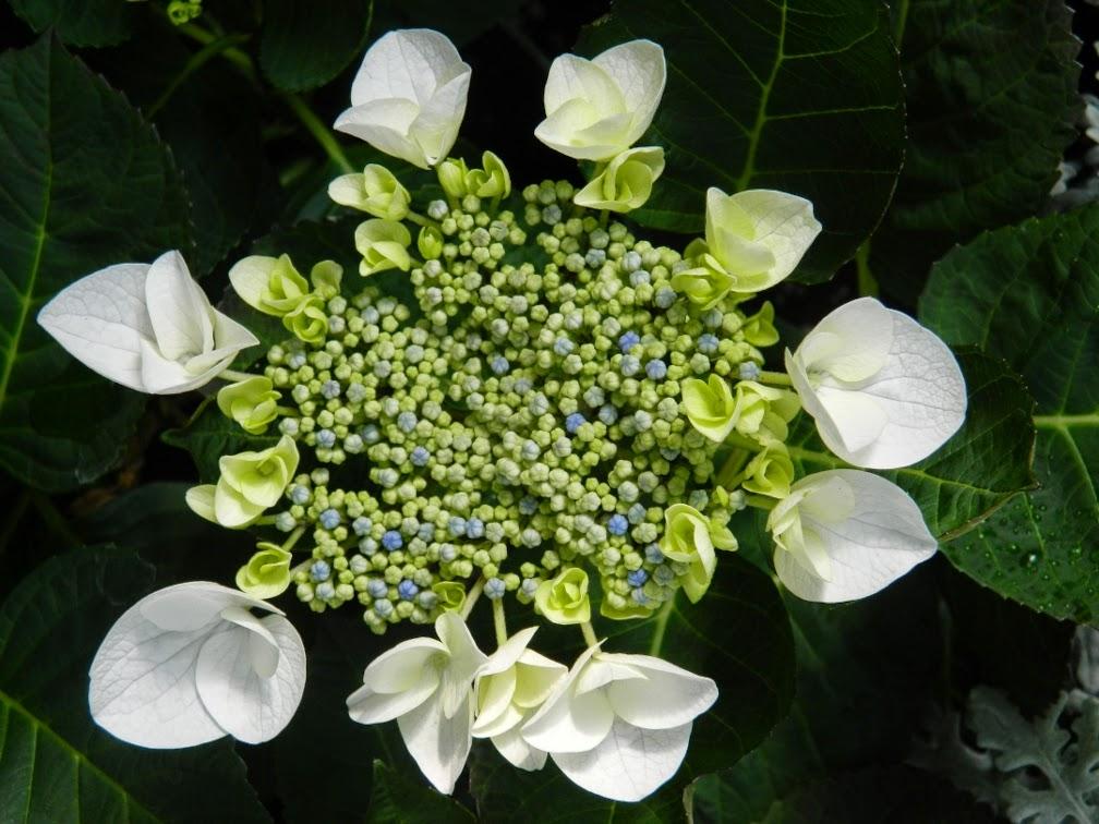 Hydrangea Macrophylla Libelle Teller White Allan Gardens Conservatory 2014 Easter Flower Show