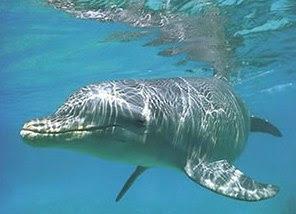 Delfín duerme