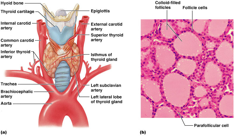 Internal Thyroid Diagram Search For Wiring Diagrams