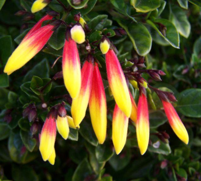 Best Flower U0026 39 S Care  Jacobinia