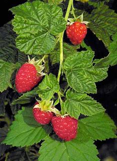 jual-bibit-raspberry-merah.jpg
