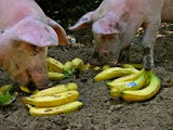 Boyleing Points - Pigs and Bananas