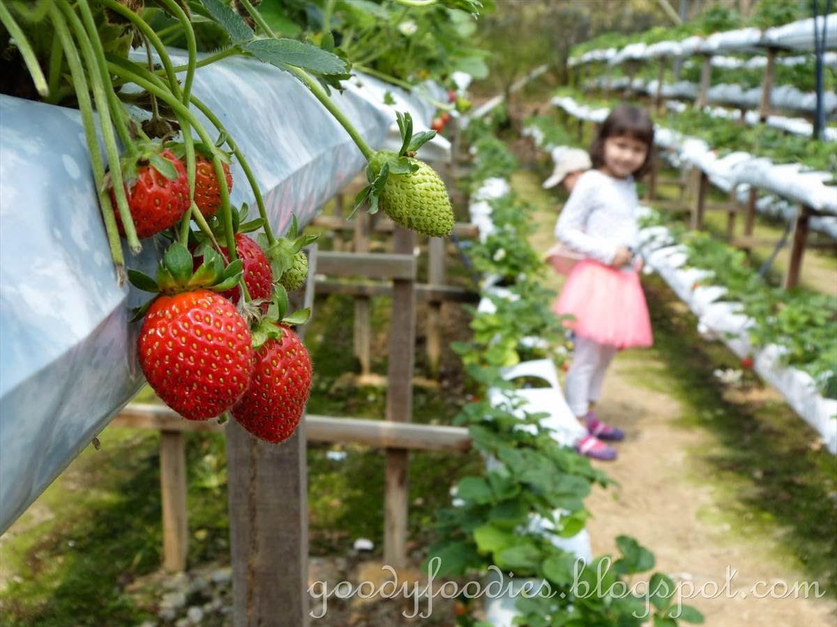 Strawberries Pickig Farm On Eastern Long Island