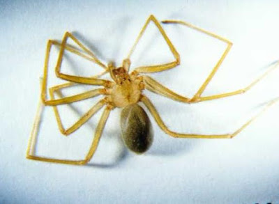 Fiddleback Spider - Sekitar Dunia Unik