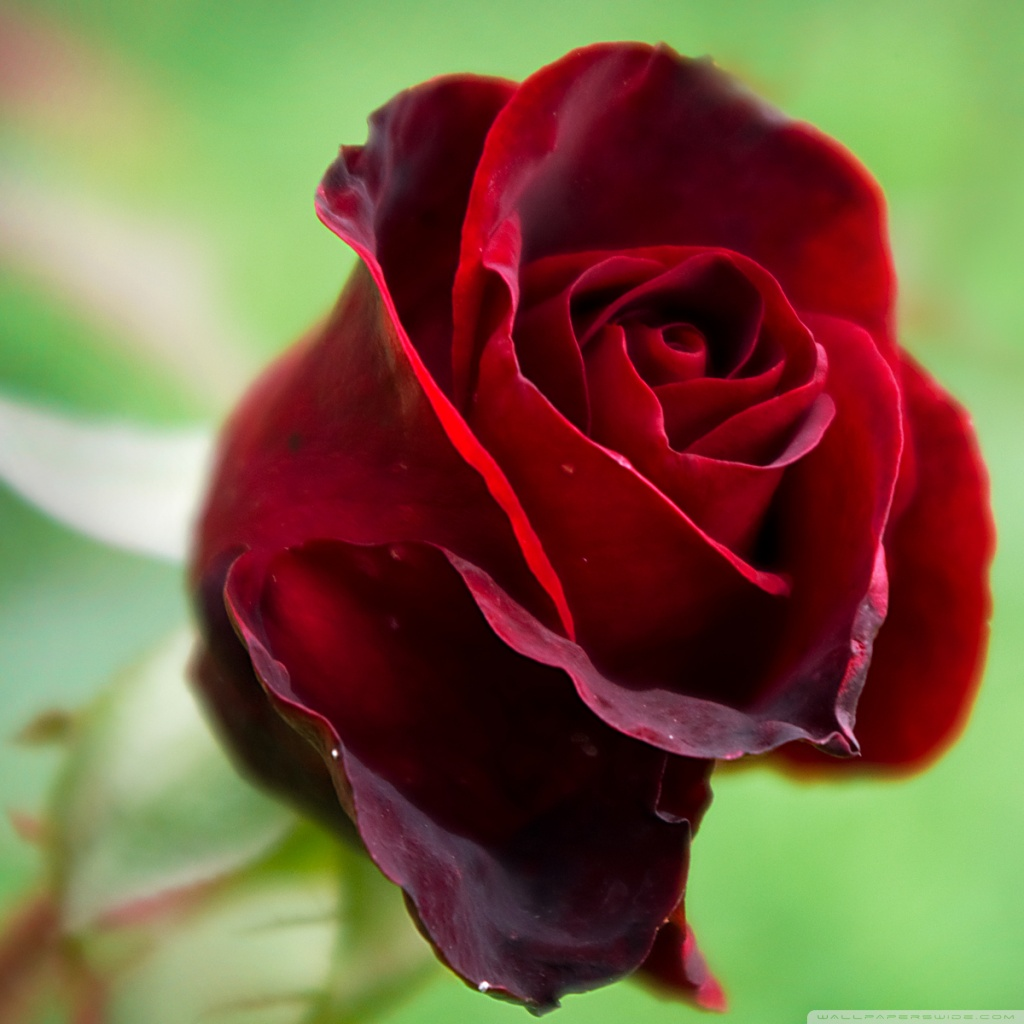 17 beautiful red rose - photo #20