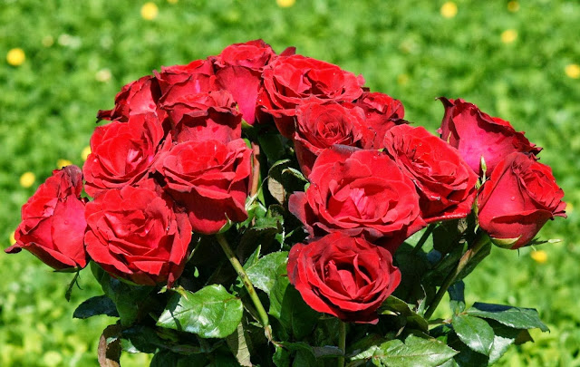 Beautiful Red Rose Wallpapers Free Download