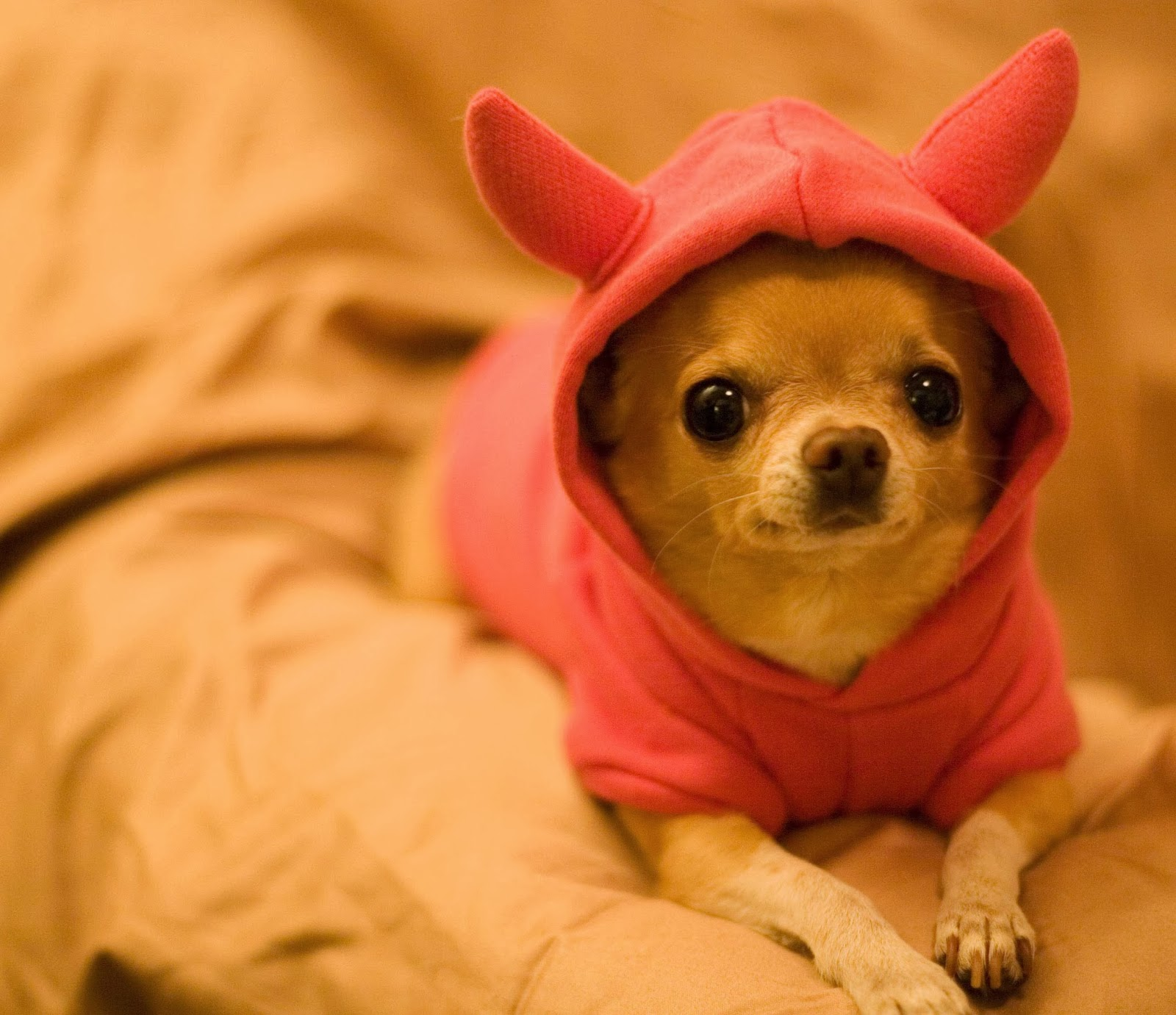 Funny Chihuahua Dogs | Amazing Latest Pictures | Funny And Cute ...