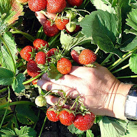 Strawberries (Photo: Wikimedia.org)