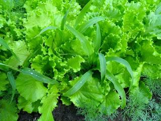 12 июня, кукуруза и салат