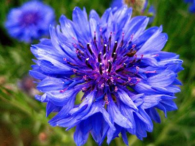 صور ورد ازرق, صور ورد وزهور