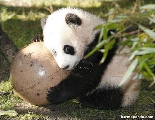 Animales ositos panda - Reproduccion del bambu ...