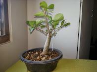 Baobab Bonsai 2005