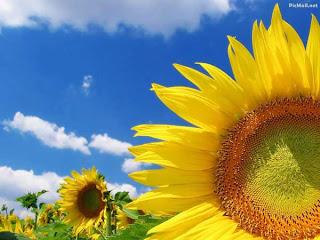 foto gambar bunga matahari tampak dekat