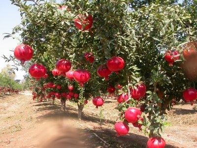 http://1.bp.blogspot.com/-bZI3_0bA7dw/UhhA9AOzKfI/AAAAAAAAAFo/vXOTD1oT0qU/s1600/pomegranate_trees.jpg