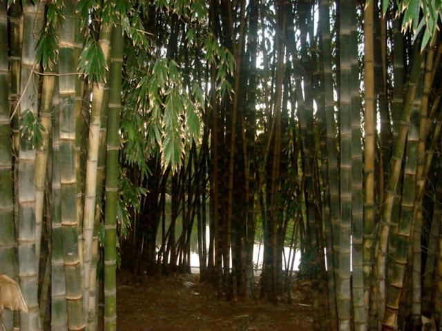 Preservação Ambiental. O barulho provocado pelo movimento dos bambus pelo vento desperta a imaginação,  e  às vezes assusta os desavisados que  de início não conseguem associar o ruído com o som próprio da natureza.