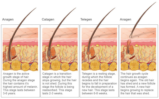Annapolis Electrolysis The 3 Stages Of Hair Growth