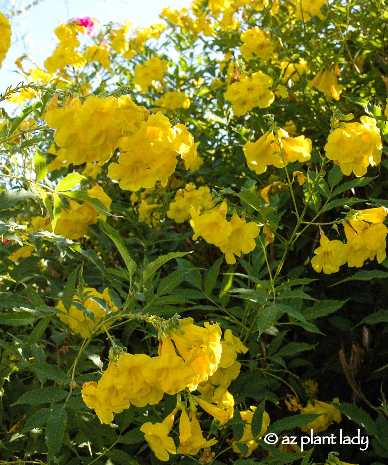 Drought tolerant yellow bells for warm season color this beautiful plant is one of my favorite shrubs in the garden so much so that i have three yellow bells produces bell shaped flowers beginning in mightylinksfo