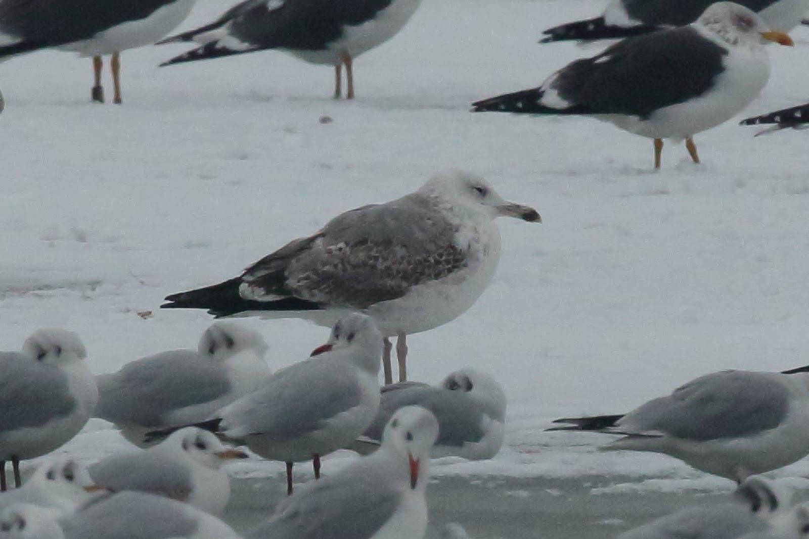 Staffordshire Bird News  January 2013
