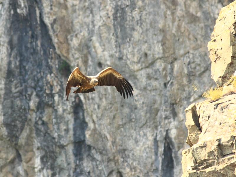 Griffon Vulture photography