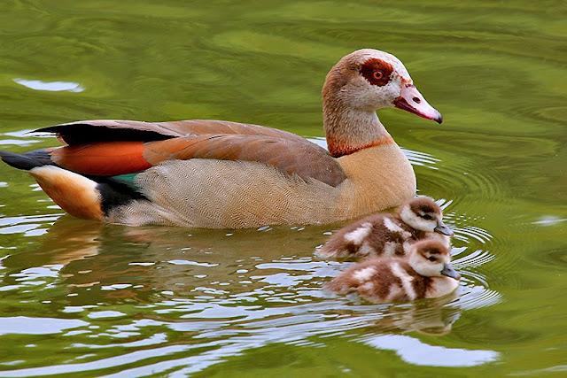 Fotos - Tierfotos - Vogelfotos - Gänse - Nilgans mit Gösseln