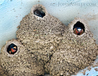 Cliff Swallow nests (c) John Ashley