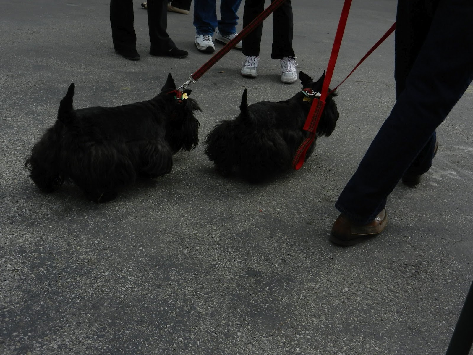 Right out of a cartoon, these darling scotties run their master.