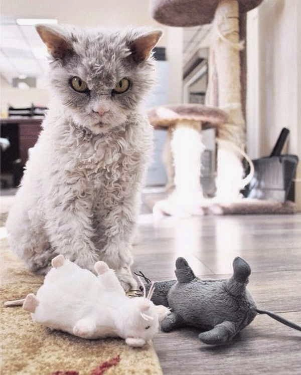 Albert the sheep cat, Albert the cat with bitch face, Selkirk Rex breed cat picture