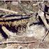 Kelinci Terlangka Sejagad Ada di Indonesia