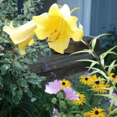 """Golden Splendor"" Trumpet Lilies"