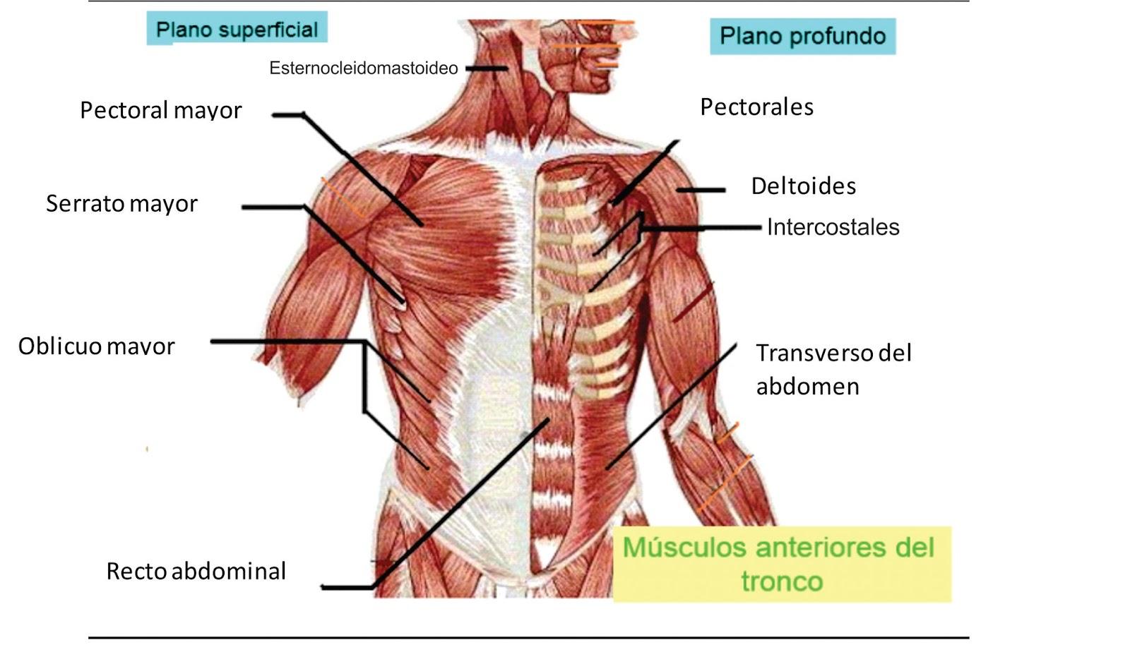 Lujoso Diagrama De Músculo Torso Friso - Anatomía de Las Imágenesdel ...