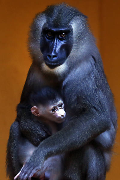 Macaca Kaduna e seu filhote