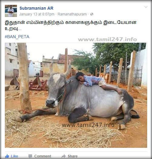 இதுதான் எம்மினத்திற்கும் காளைகளுக்கும் இடையேயான உறவு... Tamilanukkum Kalaigalukkum idaye uravu... Tamil facebook post, Jalli kattu kaalai with small kid, tamil culture, paasam