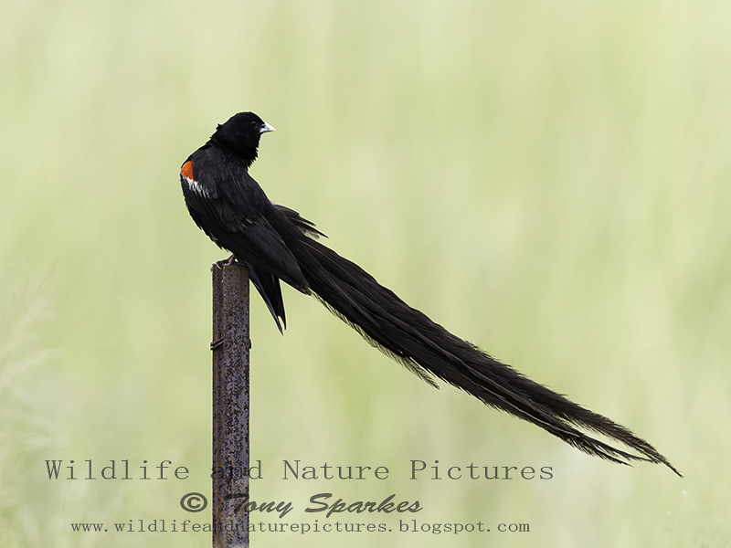 Male Long-tailed Widowbird (Euplectes progne) perched on a post displaying his long tail