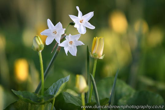 Pretty little jonquils photograph