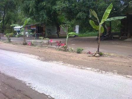 Demi Keamanan Pengendara Jalan Rusak Di Tanami Pohon Pisang