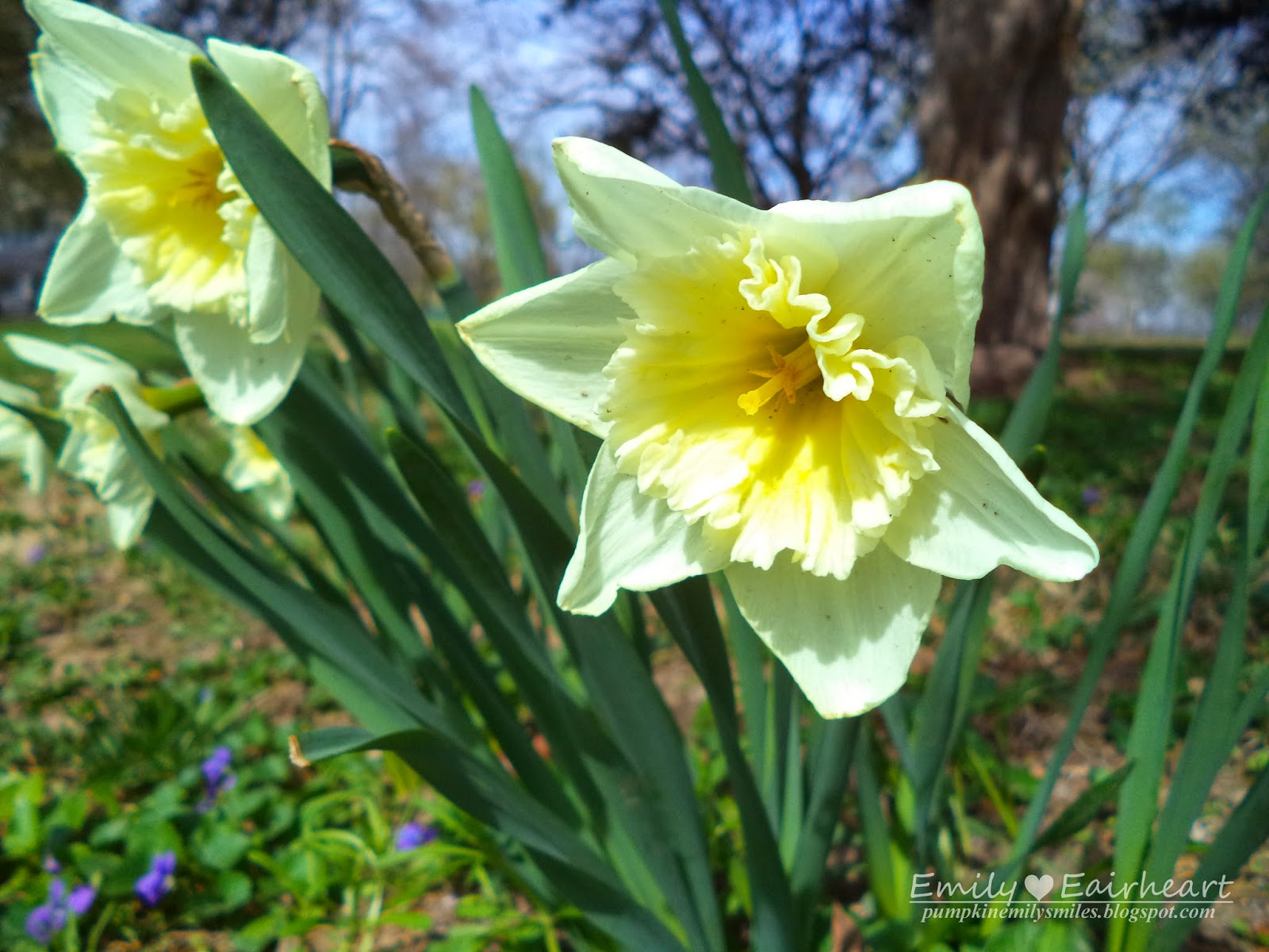 Mostly white and some faded yellow Daffodil.