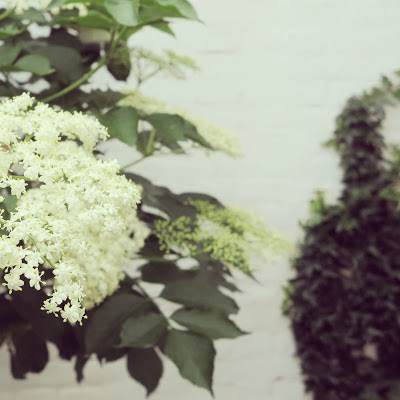 ByHaafner, container garden, blossoming elderflower, white wall
