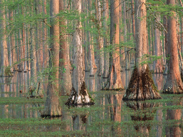 Cypress Trees South Carolina PC wallpaper