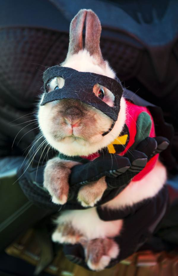 Funny and creative pet costumes, bunny costumes, dressed up guinea bunnies