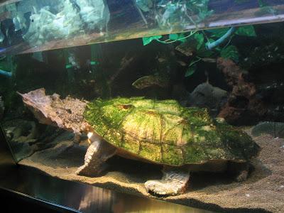 Tortuga Matamata (Chelus fimbriatus).