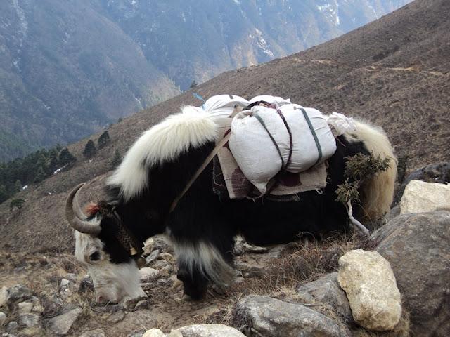 Yak Trekking in nepal