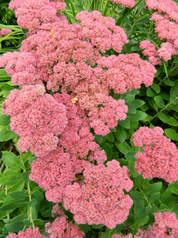 Sedum Autumn Joy Fall blooming perennials Garden muses--a Toronto gardening blog