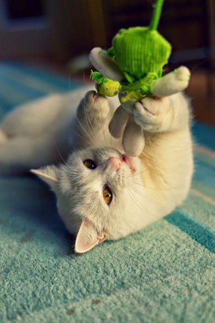 Pollux, Kater, Cat, Katze, Tier, Haustier, Stubentiger, white, weiß, xenobiophilia, freund, friend, animal, pet, blog, lifestyle, lifestyleblog