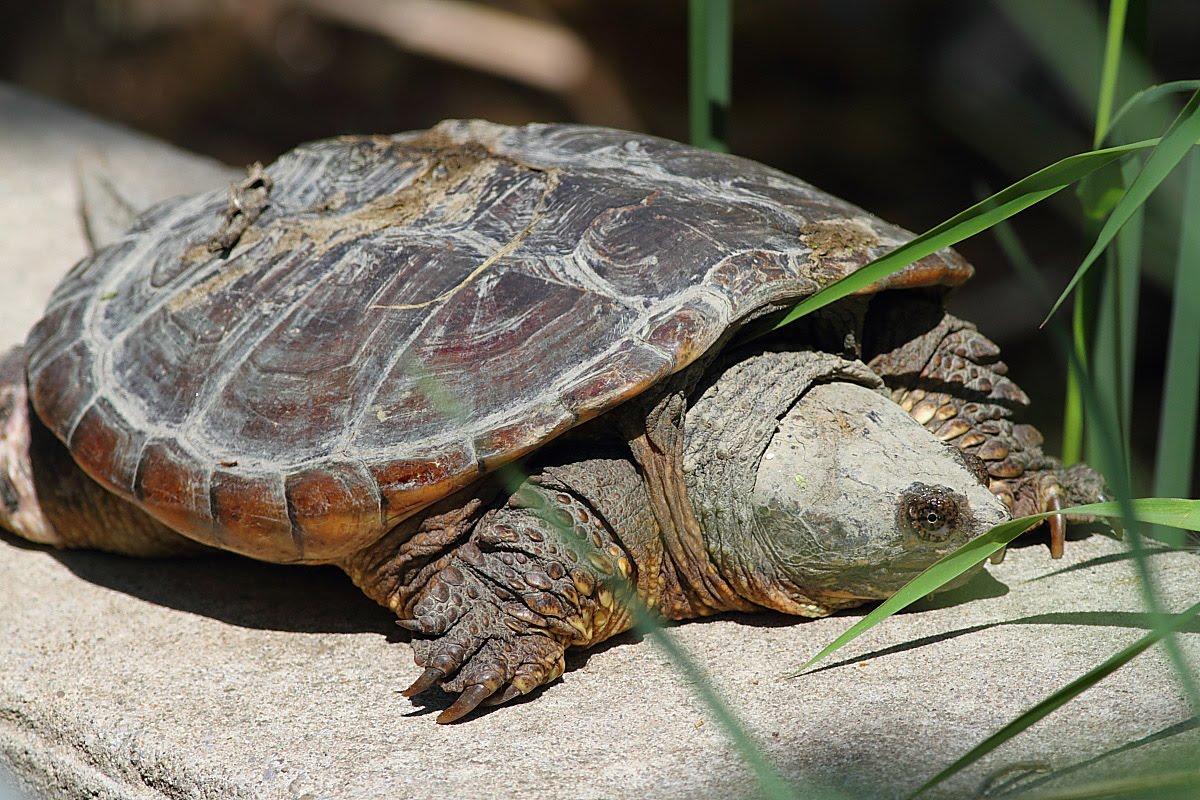 Http Life Sea Blogspot Com 2012 11 Snapping Turtle Html